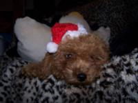 Harry is a small apricot toy poodle puppy born in July.