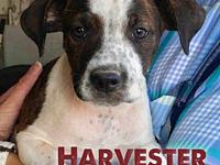 Harvester's story 9 weeks  Male  Australian Cattle Dog