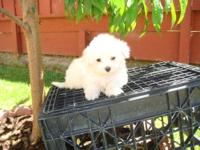 Havamalt Havanese Maltese Designer female and male
