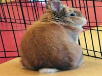 Havana - Melman - Small - Young - Male - Rabbit ADOPT