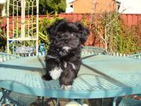have Havanese Female Male puppy ready for home. She is