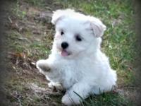 We have an outstanding trash of Havanese. Our young