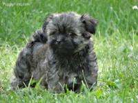 Havanese are wonderful family companions that gets