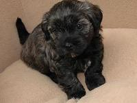 Beautiful non shedding AKC Havanese puppies. Current on
