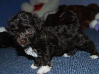 AKC Havanese puppies, Hypoallergenic and non-shed. They