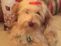 Beautiful honey/champagne adult female AKC Havanese.