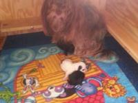 Havanese Pups 3 girls Mother is AKC/CKC registered