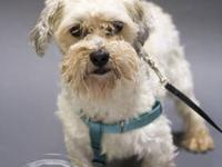 Havanese - Arthur - Small - Adult - Male - Dog Arthur
