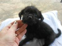Black/White Parti Havanese .He is a Beautiful little