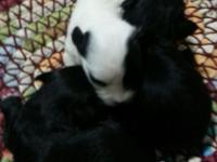 Havanese puppies -Hypoallergenic Breed DOB 07/15/2015 3