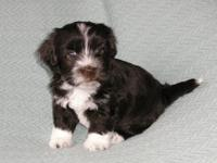 HAVANESE, Chocolate Brown with White Markings FEMALE