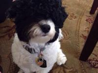 Planning to re-home my havanese dog. Romeo is 1 year