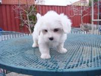 Havanese Cute puppy ready for home. $750 for male and