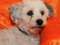 Havanese - Geofrey - Small - Adult - Male - Dog All of