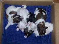 Havanese Great Pets 3 females available-2 sold 2 males
