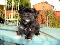 I have Havanese Male and Female puppy ready for home.