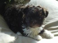 Little Oscar is an AKC Registered Havanese puppy. He