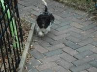 Beautiful black white parti havanese male. He is ready