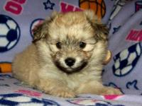 We have adorable Havanese Pomeranian pups, they are a 8