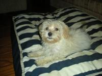 Darling male Havanese puppy available. He has all of