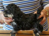 Lovely AKC Havanese Puppies !! These are ideal family