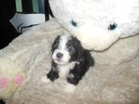 We have 5 Havanese puppies available to serious loving