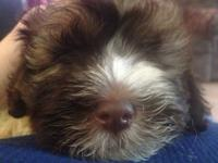 Adorable small Full blooded Havanese puppies , will be