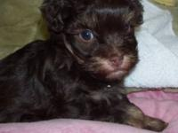 Pure Bread Havanese Puppies. Raised with kids, Sweet,