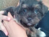 2 female havanese young puppies for sale. Featured