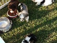 AKC signed up Havanese young puppies offered. It has