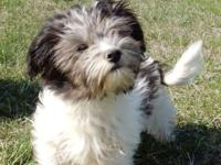 We have two great Havanese puppies to place in forever