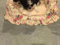 Havanese puppies 1 female and 1 male 8 weeks old and