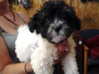 Havanese puppies, 2 gorgeous females, one is cream