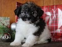 Absolutely stunning Havanese puppies are ready now