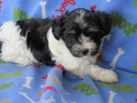 Adorable Havanese baby, they are raised in our home. I