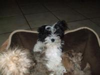 Beautiful Havanese male. He is friendly, loving,