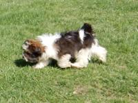 We have a beautiful Havanese puppy to place in a