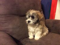 Beautiful Havanese puppy born 1//17/15. My friends