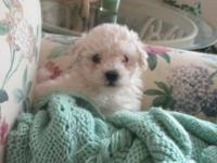 Little Cooper is an AKC Registered Havanese puppy.