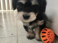 AKC female havanese. Comes with papers. Non-shedding