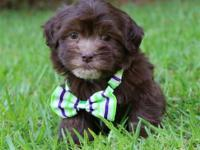 Hershey is a gorgeous dark chocolate havanese male with