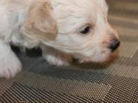 Coby is a beautifuI white male Havanese. He will