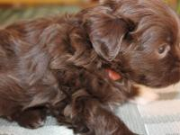 Koby is a beautiful dark chocolate male Havanese with