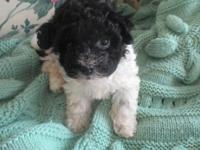 Little Blackie is an AKC Registered Havanese puppy.