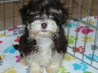 Adorable male Havanese puppy. This little guy is 10