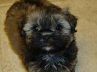 Black and white male Havanese puppy. Mother is very