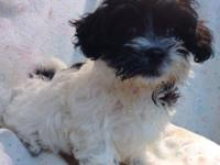 Beautiful Black and White Havanese!! She was born on