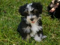 Havanese are long-haired small dogs that do not