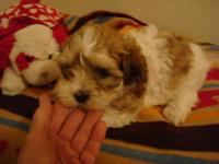 Cute purebred Havanese pups offered. 3 girls (gold