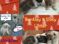 Havanese Puppies Will be all set December 14th. Will